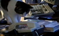 video: Cat answers office phone